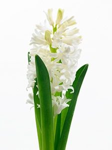 snijhyacint 010 WEBmg 225x300 - Lieflijke bloemen: de hyacint