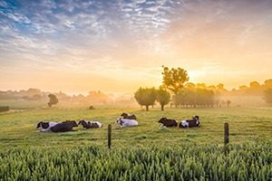 Koeien Belgiemg 300x200 - Vlaamse, biologische roeryoghurt