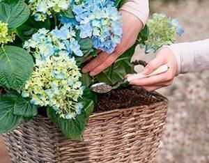 Pokon Hortensiavoeding 003 WEBmg 300x234 - Krachtvoer voor hortensia