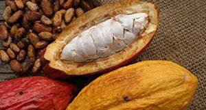 palmhart2 300x161 - De beste cacao en het palmhart