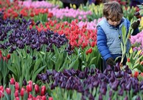 Gratis tulpen plukken op de Dam