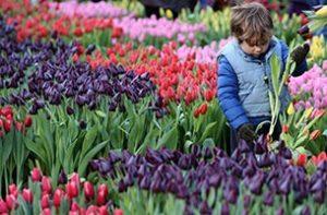 Nationale Tulpendag 008 WEB marcelineke 300x197 - Nationale-Tulpendag-008-WEB-marcelineke