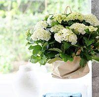 Een kamerhortensia fleurt je huis op!