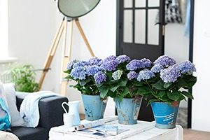 Magical Amethyst blauw WEB marcelineke 300x200 - Betoverende kamerhortensia