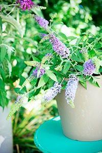 Vlinderstruik 01 WEB marcelineke 200x300 - Geniet in augustus van vlinders in je tuin