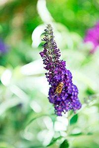 Vlinderstruik 04 WEB marcelineke 200x300 - Geniet in augustus van vlinders in je tuin