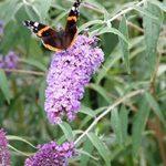 Vlinderstruik_08-WEB-marcelineke