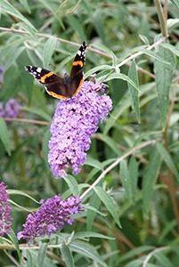 Vlinderstruik 08 WEB marcelineke 201x300 - Geniet in augustus van vlinders in je tuin